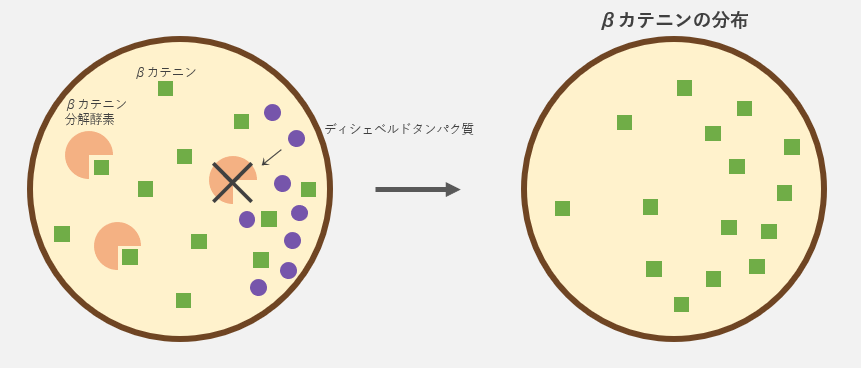 ディシェベルドタンパク質