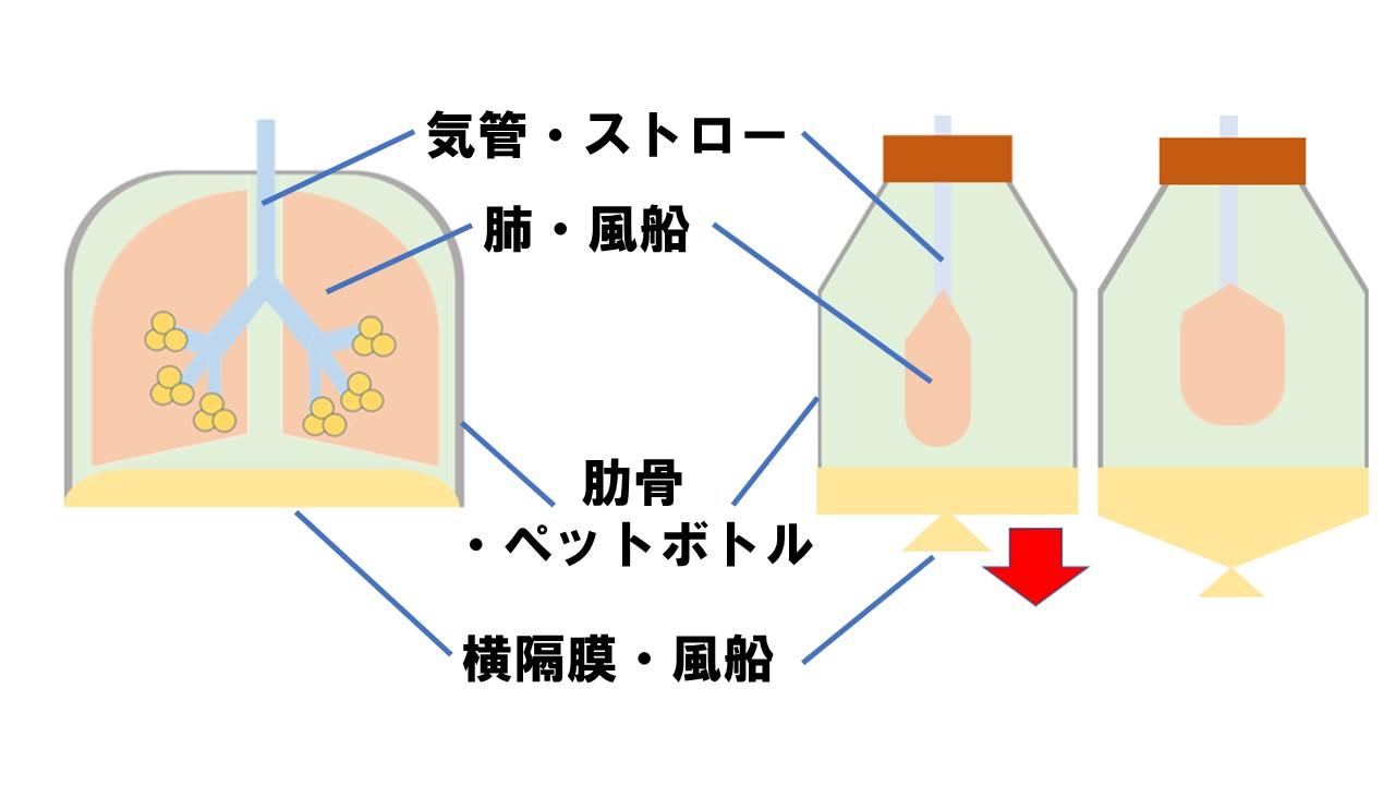 実験 肺の再現