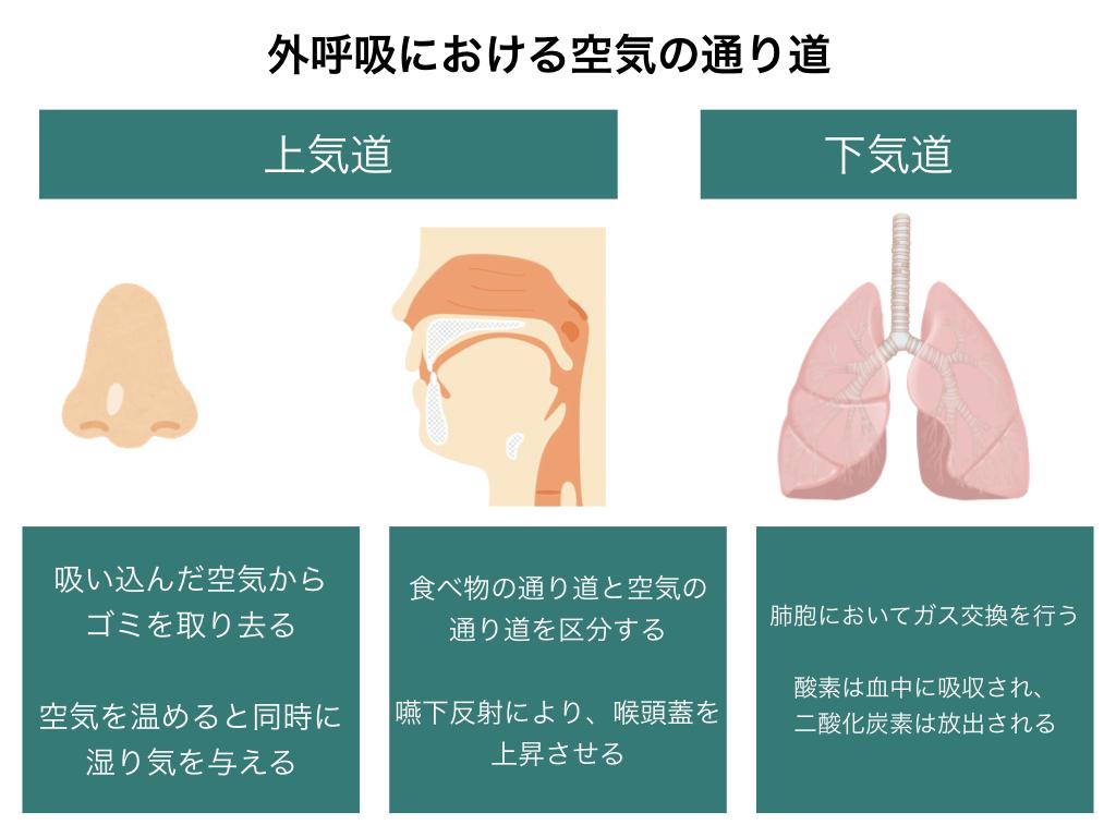 呼吸器官の構造とは?