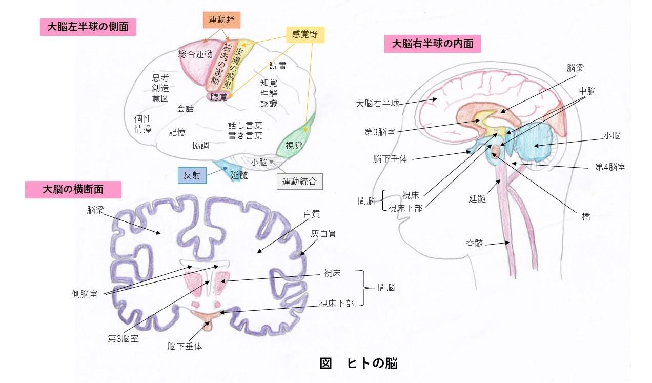 脳の全体像
